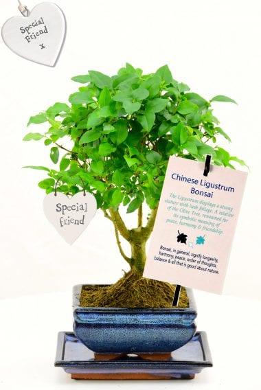Beautiful bonsai for friendship