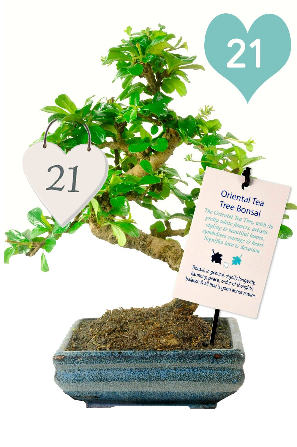21st indoor birthday bonsai