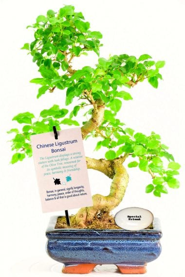 Beautiful indoor bonsai with special friend pebble