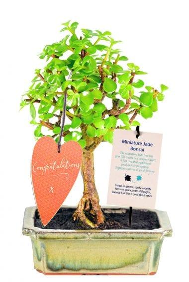 beginners money tree bonsai