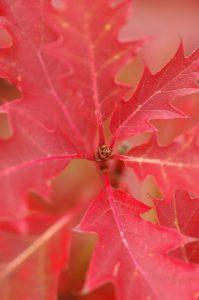 Leaves of the red oak bonsai