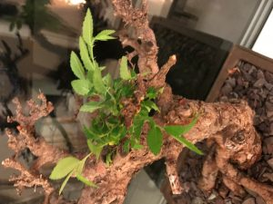 Ulmus parvifolia with die back