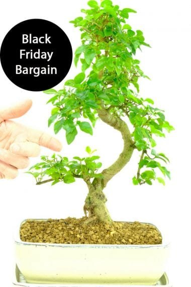 Large beginners bonsai - Black Friday Bargain