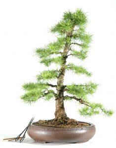 Larix Outdoor deciduous bonsai