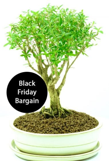 Snowrose Black Friday deal