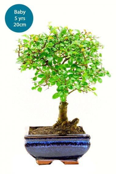 Baby elm bonsai for build a kit