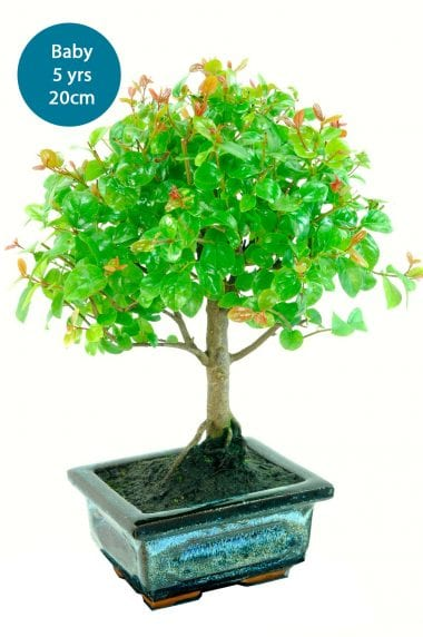 Fruiting baby indoor bonsai plum for kit
