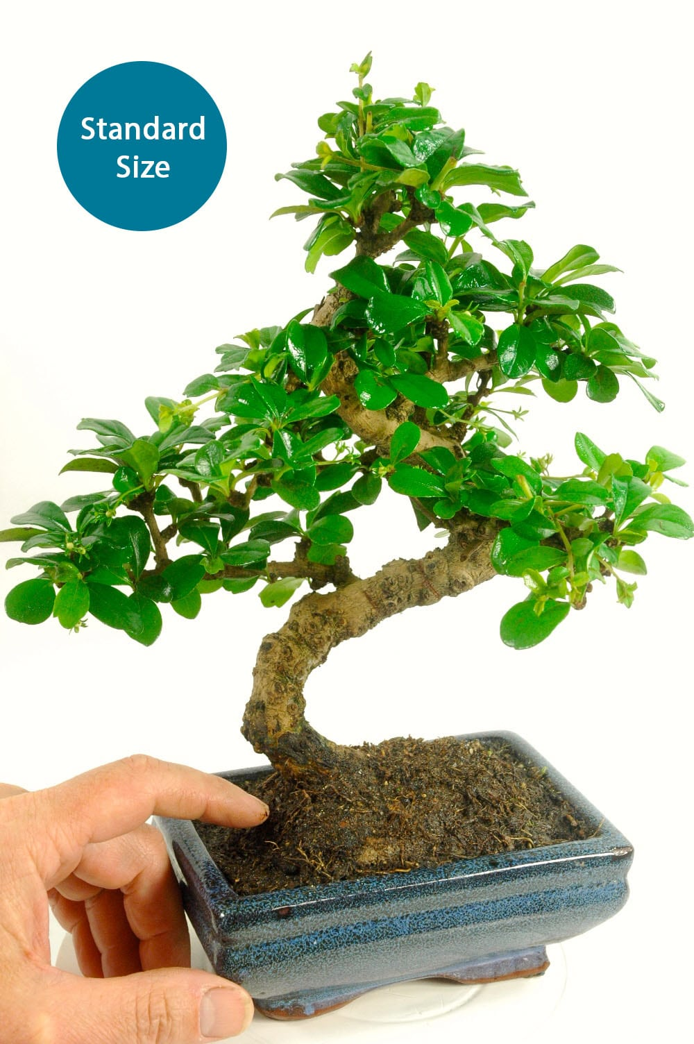 Bonsai Kit Builder Tea Tree Carmona Microphylla Flowering Indoor Bonsai Tree For Sale