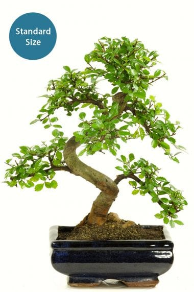 Chinese Elm - Beginners twiggy indoor bonsai variety 8 years