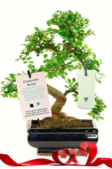 Beautiful elm for a love & devotion gift