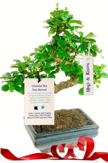 Oriental tea tree for love gift