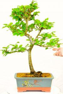 Fagus crenata outdoor bonsai for sale