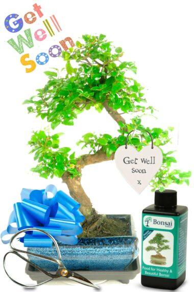 Fruiting indoor bonsai get well soon gift