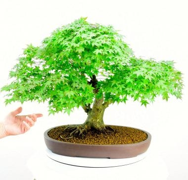 Spectacular specimen maple bonsai for sale