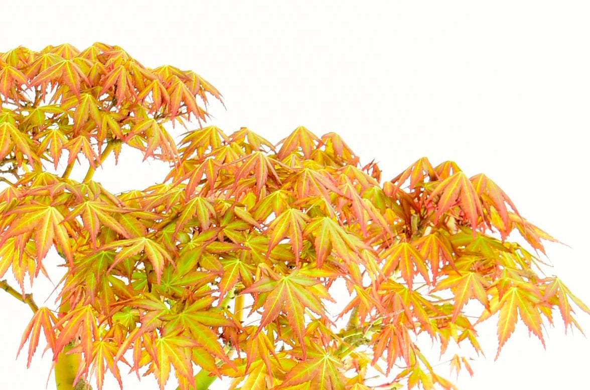 Beautiful seasonal colour of the maple bonsai tree