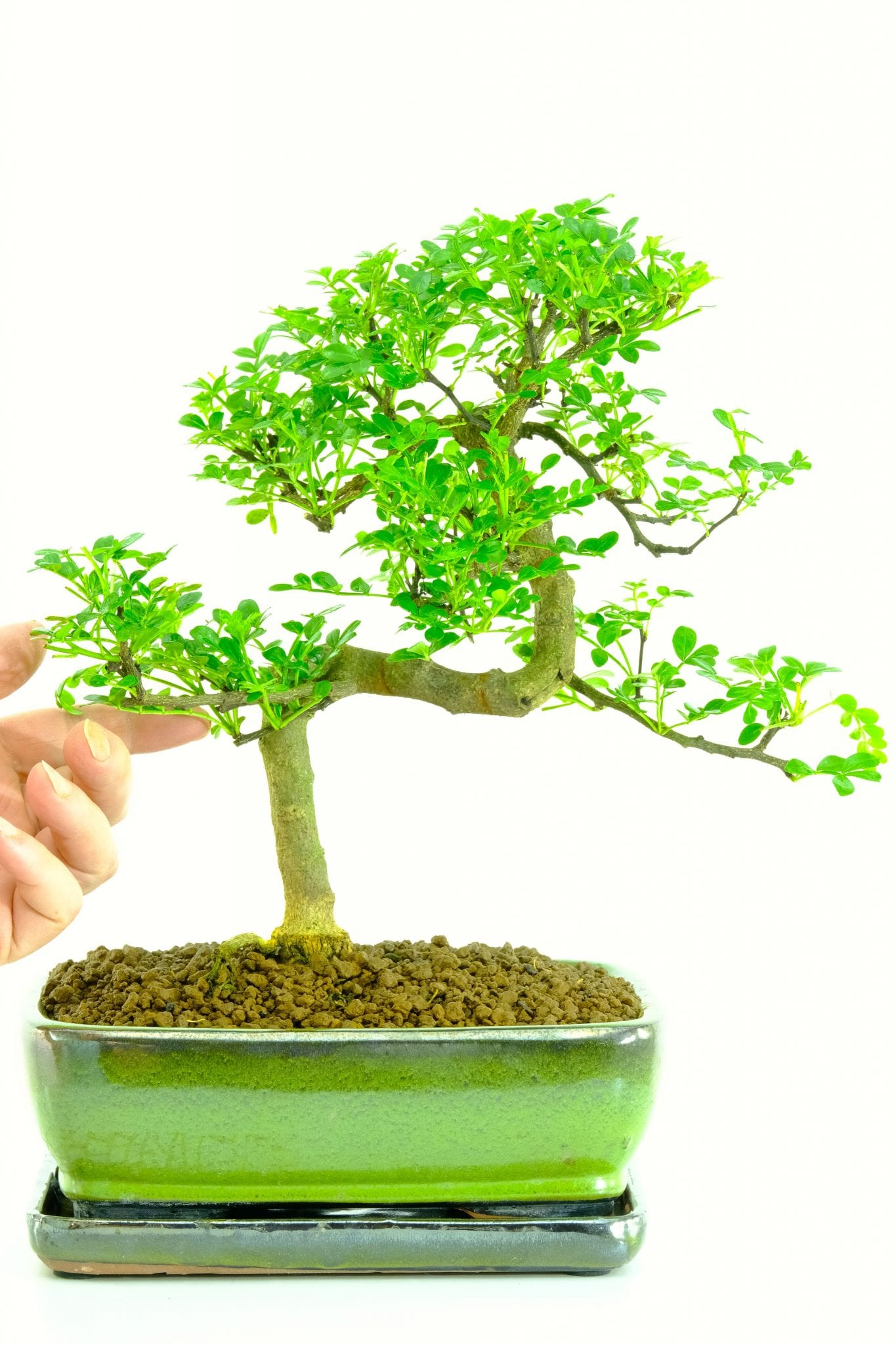 Zanthoxylum piperitum highly refined scented indoor bonsai