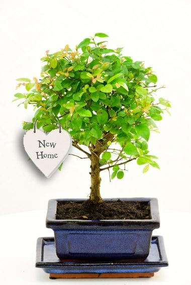 Bonsai with the meaning of new beginners as new home gift