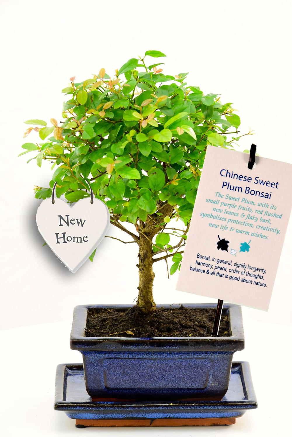 Fabulous bonsai house warming gift which symbolises new beginnings
