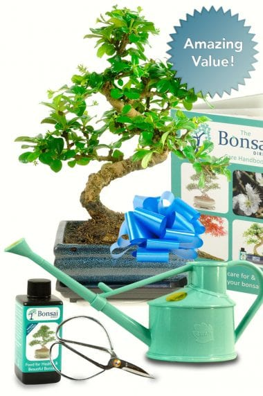 Larger outstanding beginners bonsai kit for indoors