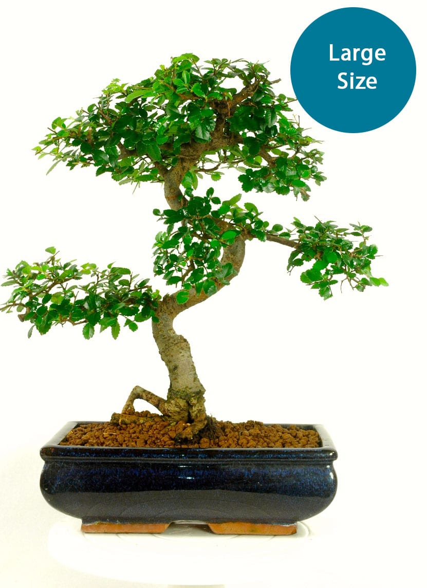 Large sized Chinese Elm for bonsia kit builder