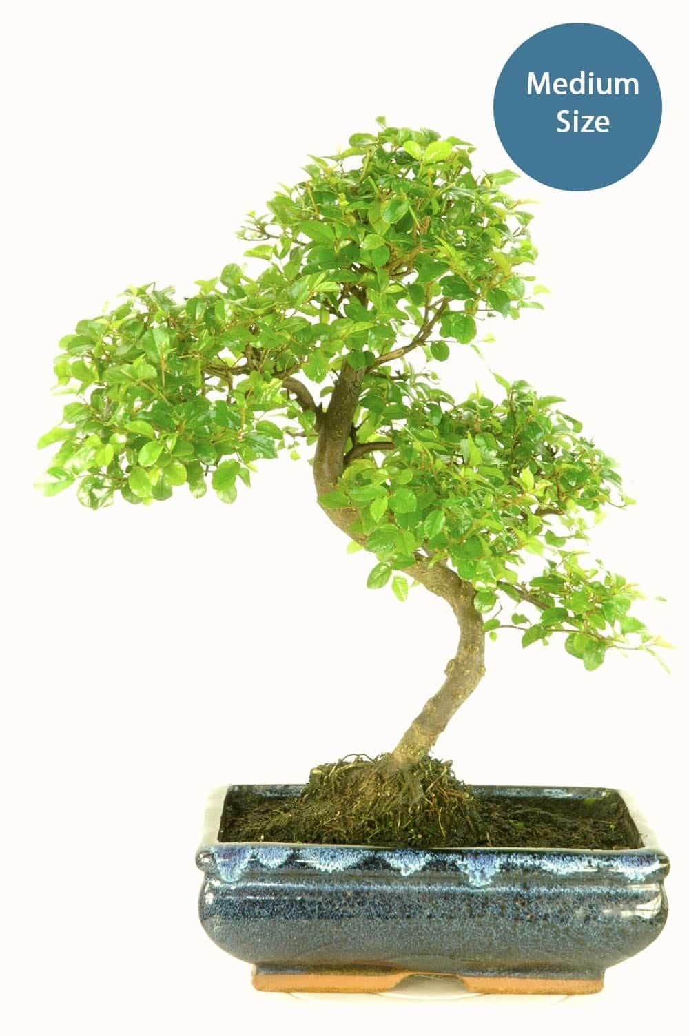 Medium sized fruiting Sweet Plum bosnai for bonsai tree kit builder