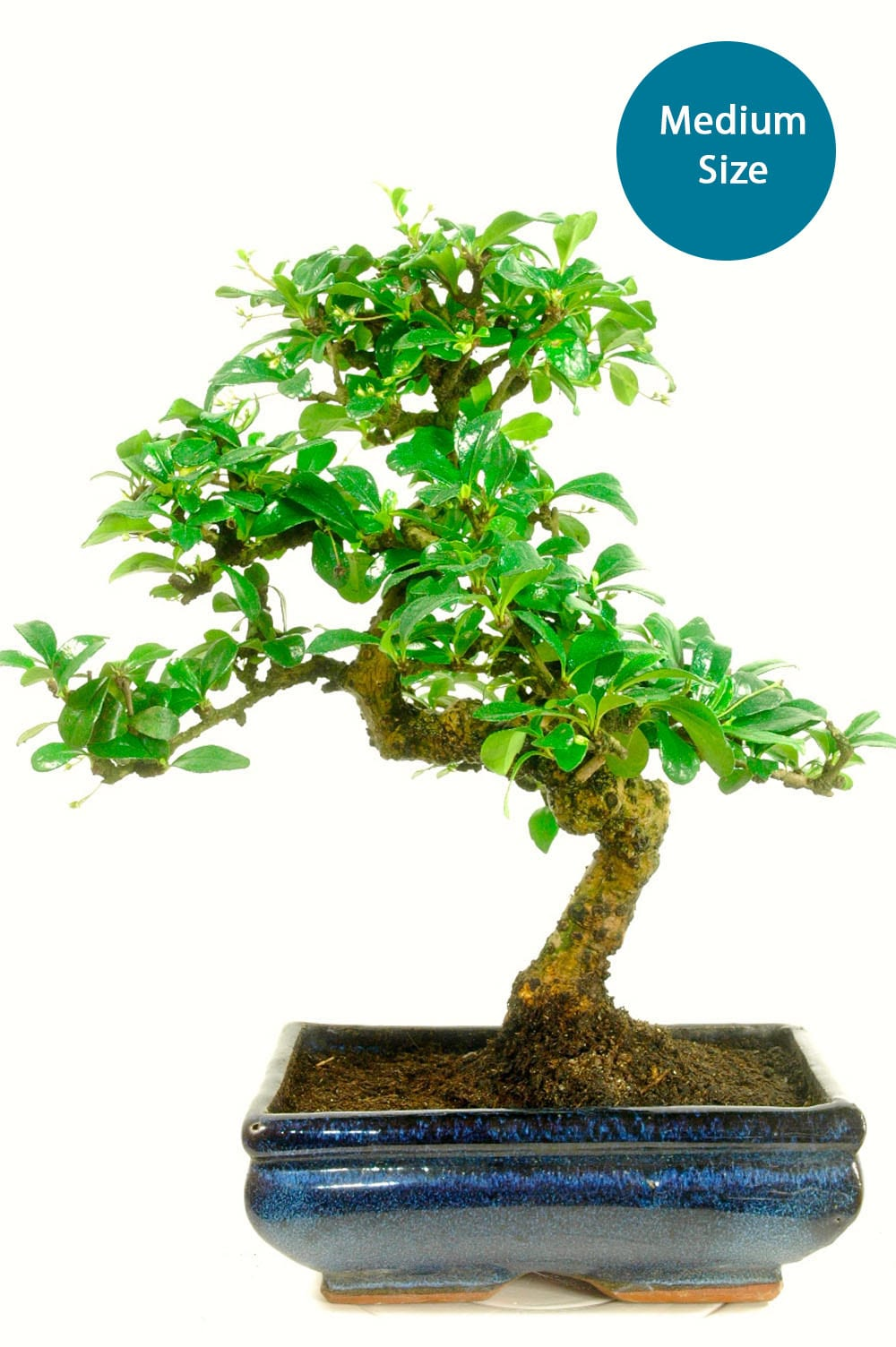 Medium sized tea tree bonsai with stunning white flowers
