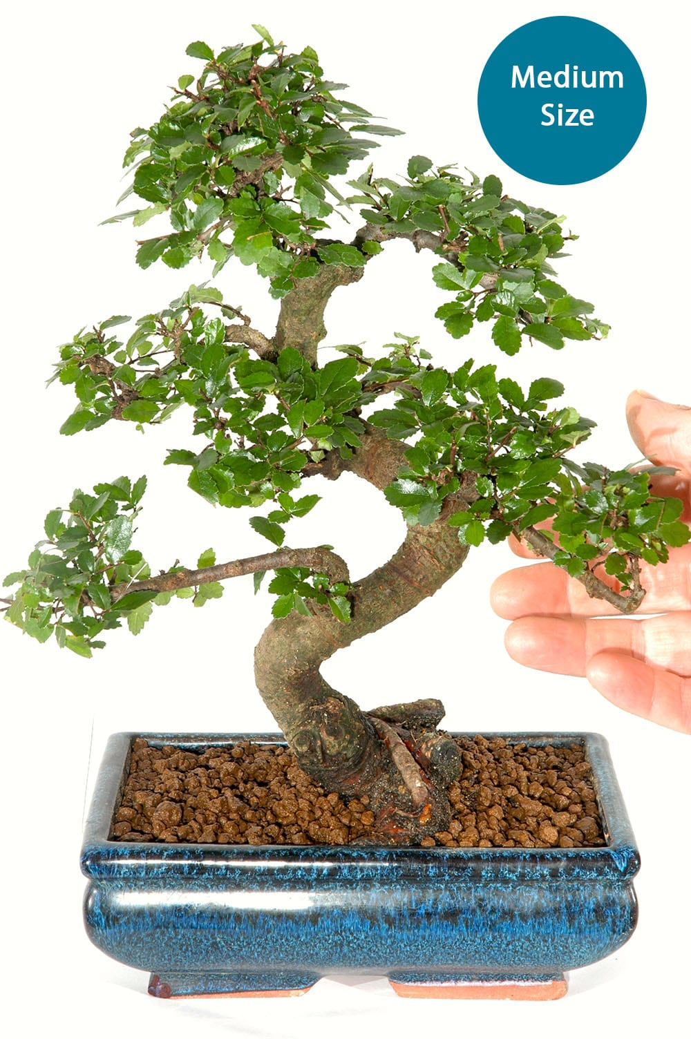 Mid Sized Chinese Elm Bonsai Tree For Beginners With Phenomenal S Shaped Trunk