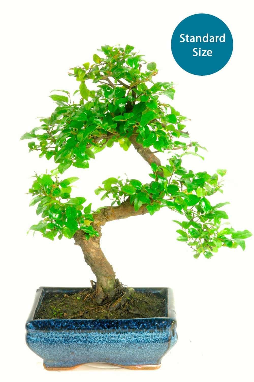 Sweet Plum (sageretia theezans) twisty indoor bonsai for sale