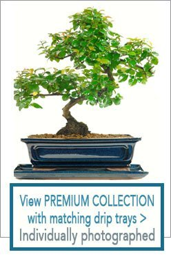 Best Bonsai Trees For Sale Uk From The Bonsai Direct Online Shop