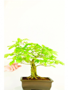 A beautiful bonsai with spectacular design