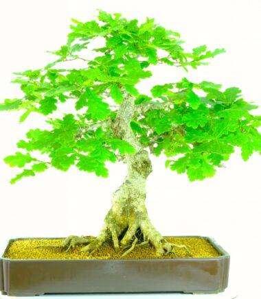 Exceptional English oak Bonsai tree for sale