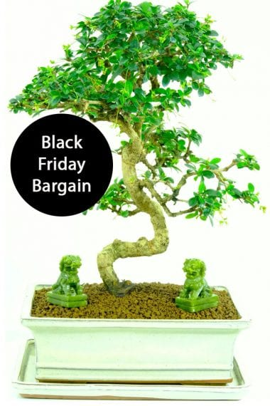 Black Friday Bargain with foo dogs