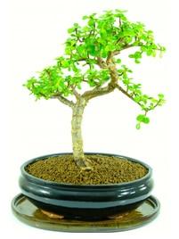 Jade Tree - Minimal Watering
