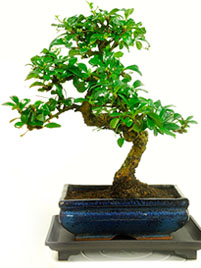 Bonsai for the Office or Desk
