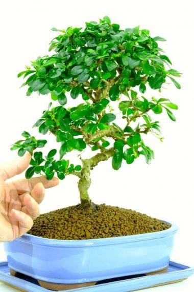 Specimen flowering indoor bonsai for sale