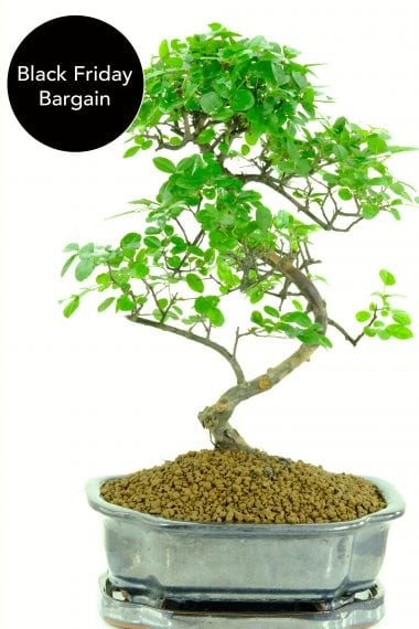 tall and elegant Sweet Plum Black Friday Bargain bonsai