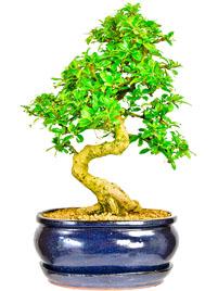 Oriental Tea Tree (Flowering)