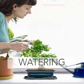Bonsai watering accessories for sale