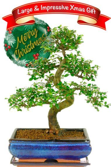 Sensational large beginners bonsai gift for Christmas