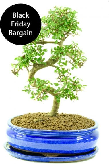 Striking large premium indoor bonsai for beginners