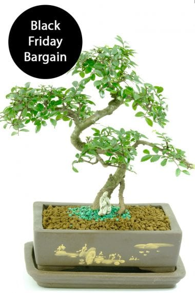Very pretty Chinese Elm Black Friday offer