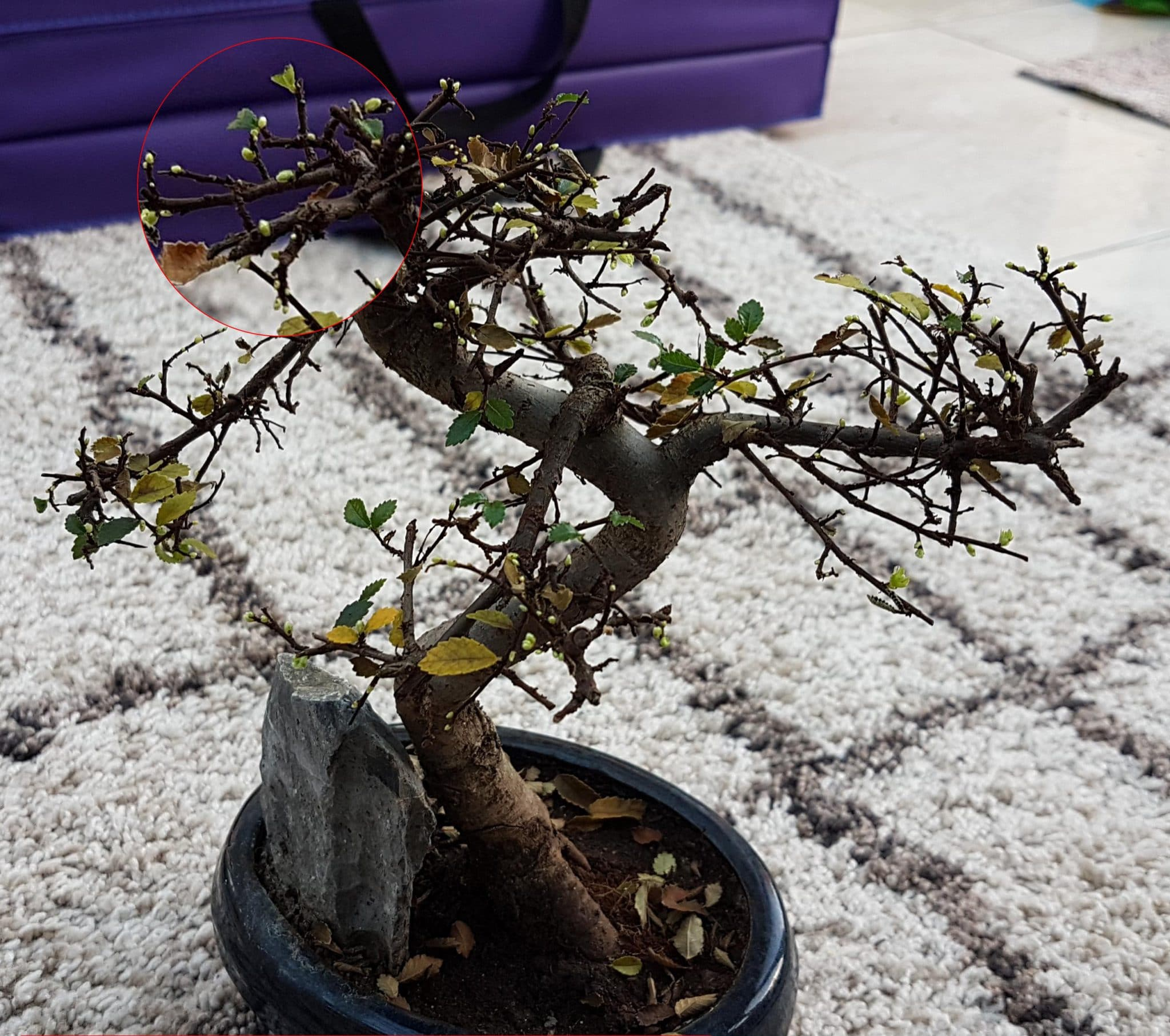 Massive Leaf Drop On Chinese Elm Bonsai Trees For Sale Uk