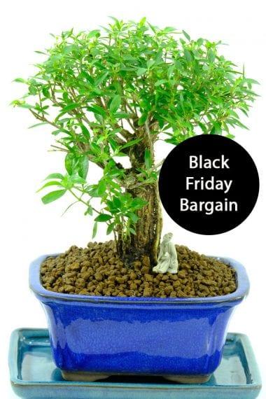 Serissa Black Friday Bonsai Bargain