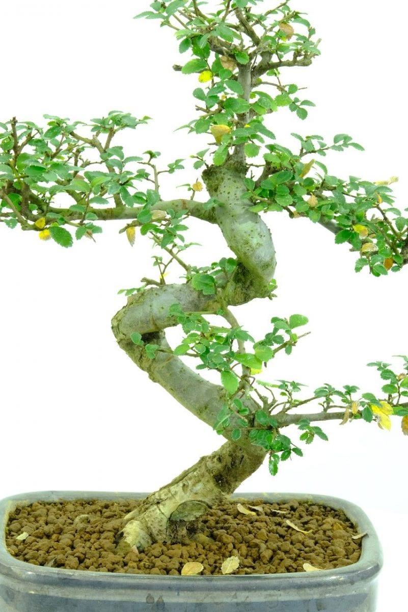 bonsai discolouring leaves