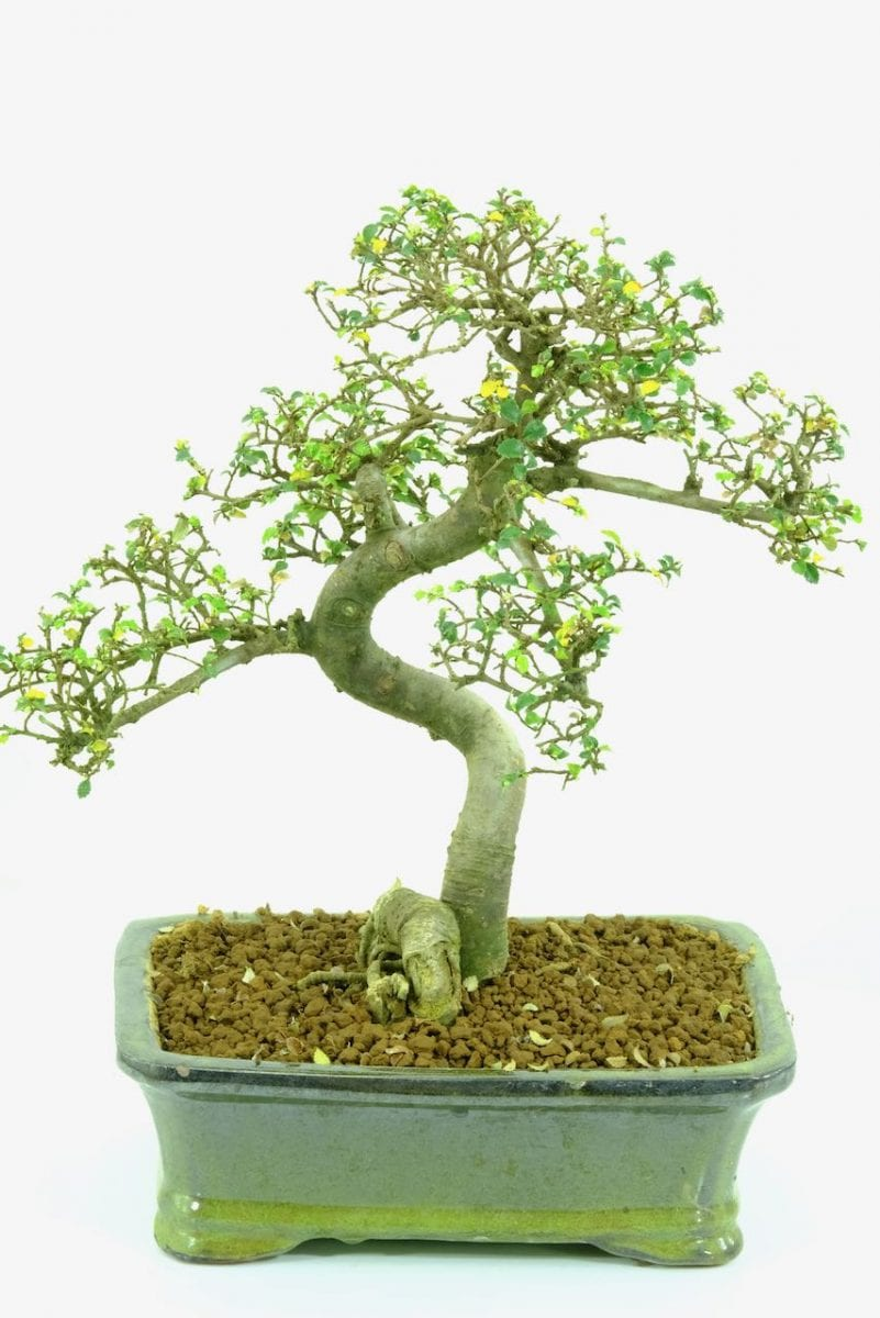 bonsai dropped all leaves