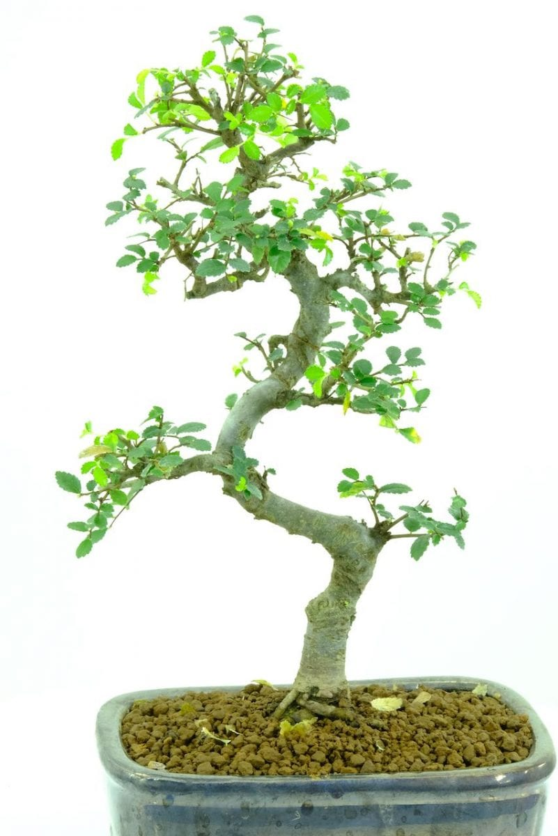 Leaf Drop On My Bonsai Help Bonsai Trees For Sale Uk