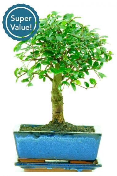 Super value broom style Chinese Elm bonsai for beginners
