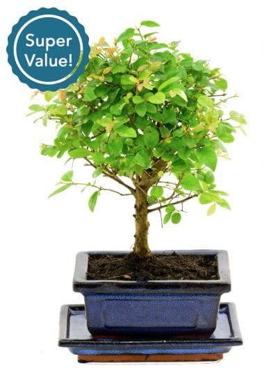 Fruiting broom baby bonsai for indoors with ceramic tray