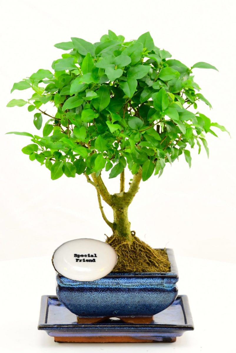 Friendship gift plant