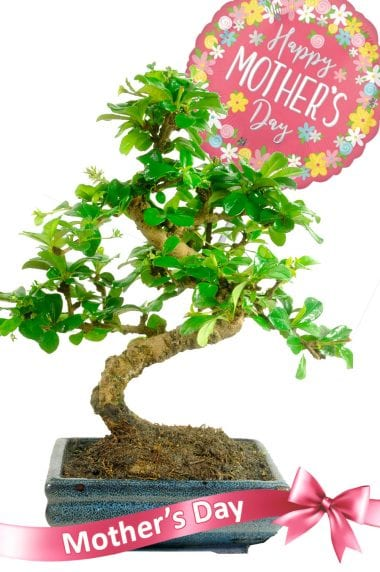 Stylish flowering Mothers Day indoor bonsai gift